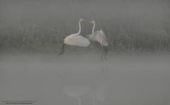 """The """"Great Egrets"""" (Noor Hussain.) Tags: greategret great ardeaalba ardea alba wildlifeofpakistan wildlife wwf wild birdsofpakistan bbc bird nature natgeo noorhussain ngc noor outdoor large largeegret"""