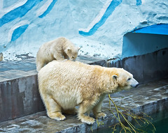 Polar bear with a cub on his back (♥Oxygen♥) Tags: adult animal arctic baby background big carnivorous child coat cold cute dirty ecology environmental family female fun funny fur hunter ice kamchatka large life lifecycle little love mammal marine mother nature north outdoor play pollution population predator protection reproduction rest russia siberia snow sow together white wild wildlife winter zoo