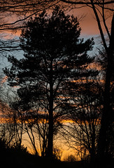 Pinus Nigra, Austrian Pine at sunset (ProspectMik) Tags: pine pinesnigra austrianpine sunset march lancashire