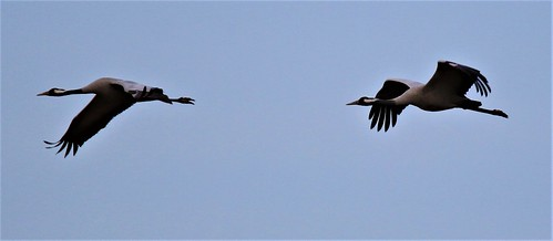 Cranes at NWT Hickling