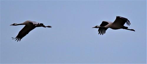 Cranes at NWT Hickling
