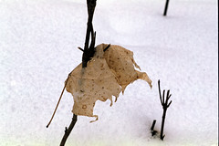 Winter Leaf (pmvarsa) Tags: snow winter waterloo waterlooregion leaf film fuji velvia fujivelvia50 canon ftb 2016 stick white texture ontario canada cans2s dry dead impale nature outdoor analog 135 35mm