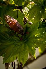 Es gibt keine Maikäfer mehr, es gibt keine Maikäfer mehr... (RGaenssler) Tags: sechsfüser melolonthinae neuflügler insekten feldmaikäfer floraundfauna tiere polyphaga blatthornkäfer tracheentiere maikäfer fluginsekten gliederfüser käfer arthropoda coleoptera hexapoda insecta maybug melolontha neoptera pterygota scarabaeidae tracheata cockchafer doodlebug