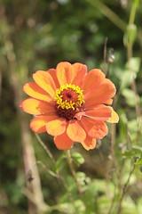 orange zinnia (Daniel Menzies) Tags: zinnia flower flora wildflowers garden nature plant orange fujixe1 fuji1855mm petal pollen