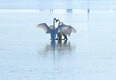 Swan Lake II (Slow Turning) Tags: cygnusbuccinator trumpeterswans birds waterfowl three 3 together ice frozen lake slipping sliding wings winter southernontario water