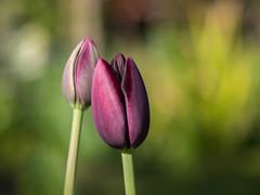 Tulips in our garden (Unni Henning (also Instagram @unnikarin59)) Tags: tulip purple dark bulbs spring plant flowers blossom nature outdoor garden warwickshire england macro closeup bokeh bokehbackground sunshine narrowdepthoffield