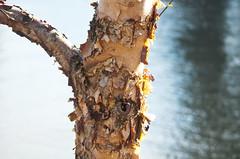 Peeling Tree on the Willamette (Orbmiser) Tags: 55200vr d90 nikon oregon portland spring willametteriver riverbank tree bark peeling