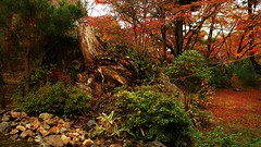 The Lion's Roar -The Garden of Shishiku 獅子吼の庭 (maco-nonch★R(mostly off)) Tags: famous garden kyoto japanese old traditional zen goldenratio diaglnal composition ratio autumn 京都 fall 宝厳院 獅子吼の庭 嵯峨 嵐山 hogonin manual allmanual tenryuji