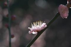 Japanese apricot (yamabuki***) Tags: dsc77622 japaneseapricot 梅 浜離宮恩賜庭園