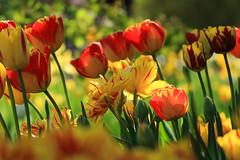 Happy Easter! (preze) Tags: tulpen tulips tulipan tulpenausstellung blumen flower pflanze plant blüte blossom flora blütenblätter petals bunt colorful colourful canoneosm3 britzergarten britzgarden sunny sonnig freundlich heiter efm55200 blumenbeet flowerbed feld tulpe blume