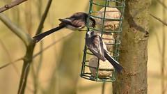 Aegithalos caudatus (_J @BRX) Tags: cromwellbottomnaturereserve cromwellbottom elland brighouse calderdale yorkshire england uk naturereserve woodland march2017 spring bird tit tits longtailedtit aegithaloscaudatus