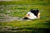 I'm so tired (eugenio.mosca) Tags: nikon d5300 italy italia cat gatto tired stanco dormire sleep grass prato green brown relax orange white black arancione marrone verde bianco nero