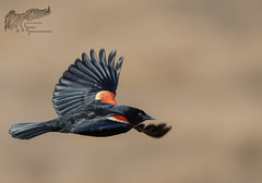 Red WInged Black Bird 3_30 (krisinct- Thanks for 15 Million views!) Tags: nikon d500 500 f4 vrg