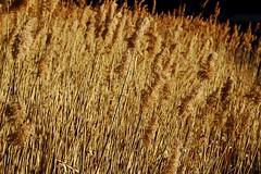 06/365 GtnY #lumière sur les roseaux (GastonGraphy) Tags: roseaux nature golden or lumière végétal lac outdoor light goldenhour