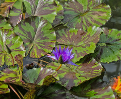 Nymphaea thermarum (bric) Tags: flowers kewgardens waterlillies