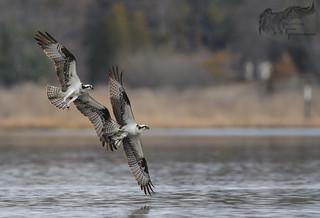 Osprey battle 4_5 2