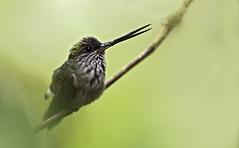 Androdon aequatorialis - Tooth-billed Hummingbird - Colibrí Piquidentado male 02 (jjarango) Tags: avesdecolombia aves avistamiento birding birdingcolombia birdwatching birdsofcolombia androdonaequatorialis toothbilledhummingbird colibrípiquidentado