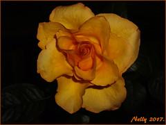 *Mother ... rose!* (MONKEY50) Tags: rose orange flower pentaxart digital art flickraward autofocus musictomyeyes contactgroups pentaxflickraward rosesforeveryone soe petals doublefantasy beautifulphoto mixofflowers macroelsalvador