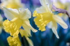 easter bells (narcissus) (gregor H) Tags: feldkirch vorarlberg österreich at spring flower garden selectivefocus macro stilllife nature spirite yellow blue easter blume close
