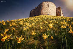 Spring in York... (Kerriemeister) Tags: daffodil daffodils cliffords tower york north yorkshire yellow castle landmark landscape nikon spring flowers blooms