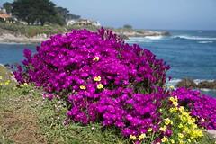 DSC00516 (ecubedwa) Tags: ocean flower pacificgrove california unitedstates us
