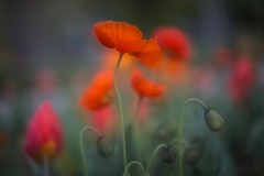 jetzt wird's bunt......... (SonjaS.) Tags: inselmainau mohnblumen flowers rot red bokeh soft frühling spring sonjasayer makro 100mm