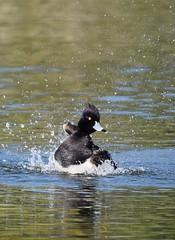 Splashing Around (gillsfanjohn) Tags: tufted duck