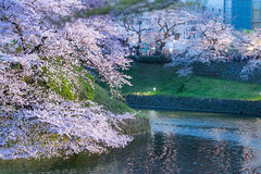 Tokyo Cherry Blossom at Night (Sharleen Chao) Tags: 千鳥之淵 日本 東京 賞櫻名所 2016 春天 色溫 night canon japan tokyo boats cherryblossoms sakura travel 5dmarkiii 100mm spring springtime yoshinocherry prunusyedoensis plant flowering fullbloom ソメイヨシノ 千鳥ヶ淵 千鳥ヶ淵緑道 花見 染井吉野櫻 桜並木 moat water ライトアップ bluehour