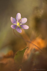 Hepatica nobilis, fin de saison (Fernando.P.Photo) Tags: nature proxy flower anémone hap hépatique hepatica nobilis hepaticanobilis macrodreams bokehlicious