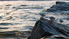 Shore Things (DJawZ) Tags: nj new jersey shore atlantic ocean birds water rocks