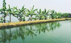 Banana Trees (Shrayansh Faria Photography) Tags: trees green waters backwaters plantation