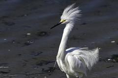 Snowy Egret (halladaybill) Tags: bolsachicaecologicalreserve snowyegret orangecounty breedingplumage white bird animal wader