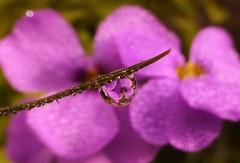 Pretty Purple..x (Lisa@Lethen) Tags: water droplet macro flower spring garden nature