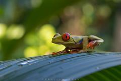 Taking the Redeye (Khurram Khan...) Tags: redeyedtreefrog wildlife amphibion frogs ilovewildlife iamnikon costarica naturephotos naturephotography nikkor nikon wildlifephotography khurramkhan wwwkhurramkhanphotocom conservation