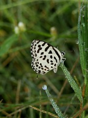 Common Pierrot ! Basking in Early morning sunlight... (omkardamle) Tags: butterfly photography common pierrot basking sun omkar damle