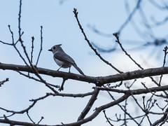 Titmouse (avatarsound) Tags: bird birds outside titmouse tree