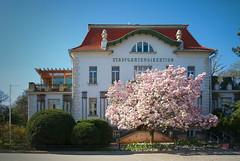 Spring is comming (Rene'D.) Tags: 2016 blossom tree wien vienna austria stadtpark ma42 stadtgartenamt gartendirektion bloom flourish spring frühling awaken awake park saucer magnolia