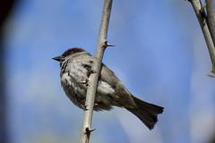 En la rama (seguicollar) Tags: virginiaseguí pájaro ave árbol madrid naturaleza natura nikond7200 gorrión rama branch garras pico cielo azul bleu plumas