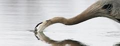 Reaching out (Jeannine St. Amour) Tags: bird heron greatblueheron nature wildlife spring ottawa