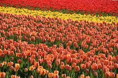 Red-yellow-red, Lisse, April 14, 2017 (cklx) Tags: bollenstreek spring holland 2017 tulips tulpen kleurrijk colorful lisse