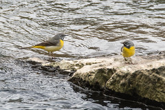 Grey wagtails (Motacilla cinerea) on rock in river (Ian Redding) Tags: greywagtail motacillacinerea pair profile bright wagtail tail yellow river water motacillidae bird fauna wildlife nature stream uk british european longtail colourful plumage two