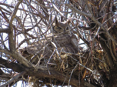 Great Horned Owl Brooding at Metzger Farm Open Space, Colorado (nature80020) Tags: owl greathornedowl nest brooding sitting bird nature wildlife metzgerfarmopenspace colorado