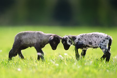 'Happy Easter' (Jonathan Casey) Tags: lambs young farm lamb d810 400mm f28 vr kitty somerleyton s suffolk