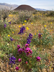 Eastern Sierra Spring on iPhone (Jeffrey Sullivan) Tags: iphone 7 blm conservation lands easternsierra ridgecrest coso mojave desert wildflowers followthebloom inyocounty mobile phone cellphone camera images iphoneography california usa apple photo copyright 2017 april jeff sullivan iphone7plus shotoniphone bureauoflandmanagement