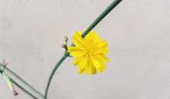 Dandelion In The Spring {3} (z33s4n) Tags: nature spring plant outdoor dandelion bud buds flower