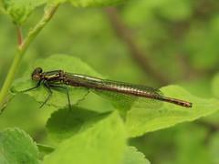 Large Red Damselfly (Pyrrhosoma nymphula) Male (Rezamink) Tags: largereddamselfly dragonflies odonata uk pyrrhosomanymphula