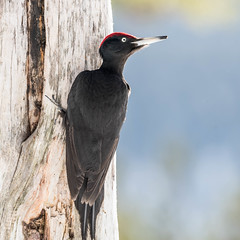 Black Woodpecker - male (3 of 4) (tickspics ) Tags: blackwoodpecker dryocopusmartius europe finland kuusamo oulangankansallispuisto oulanka oulankanationalpark picidae piciformes suomi woodpeckers northernostrobothnia