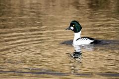 Goldeneye (douglasjt) Tags: goldeneye duck