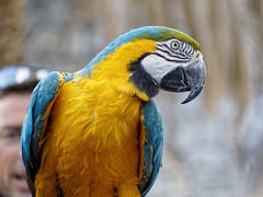 Blue and Gold Macaw (Ara Ararauna) (tomymagl1) Tags: blue gold macaw wild life ara ararauna exotic parrot nature beauty bird animal outdoor
