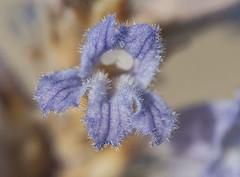 Phelipanche cf. gratiosa (Fotografía de Naturaleza de Paco Moreno Gámez) Tags: fotografía naturaleza fuerteventura islas canarias dunas orobanchaceae